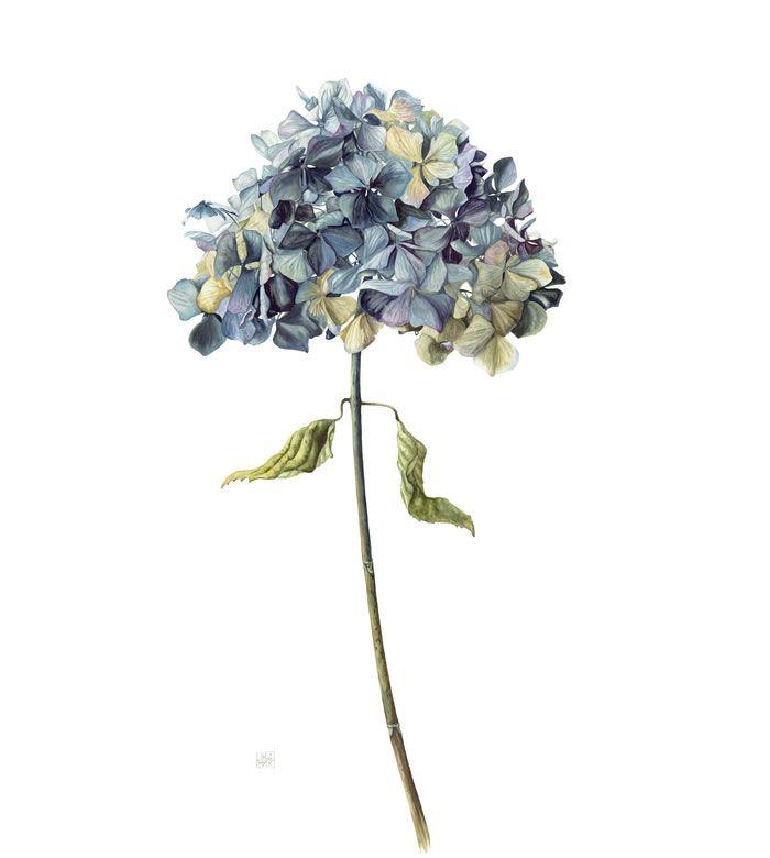 Gael Sellwood   hortenzie - hydrangea   Pinterest   Hydrangea ...