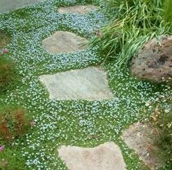 Blue Star Creeper... fabulous plant for stepping stones and crevices