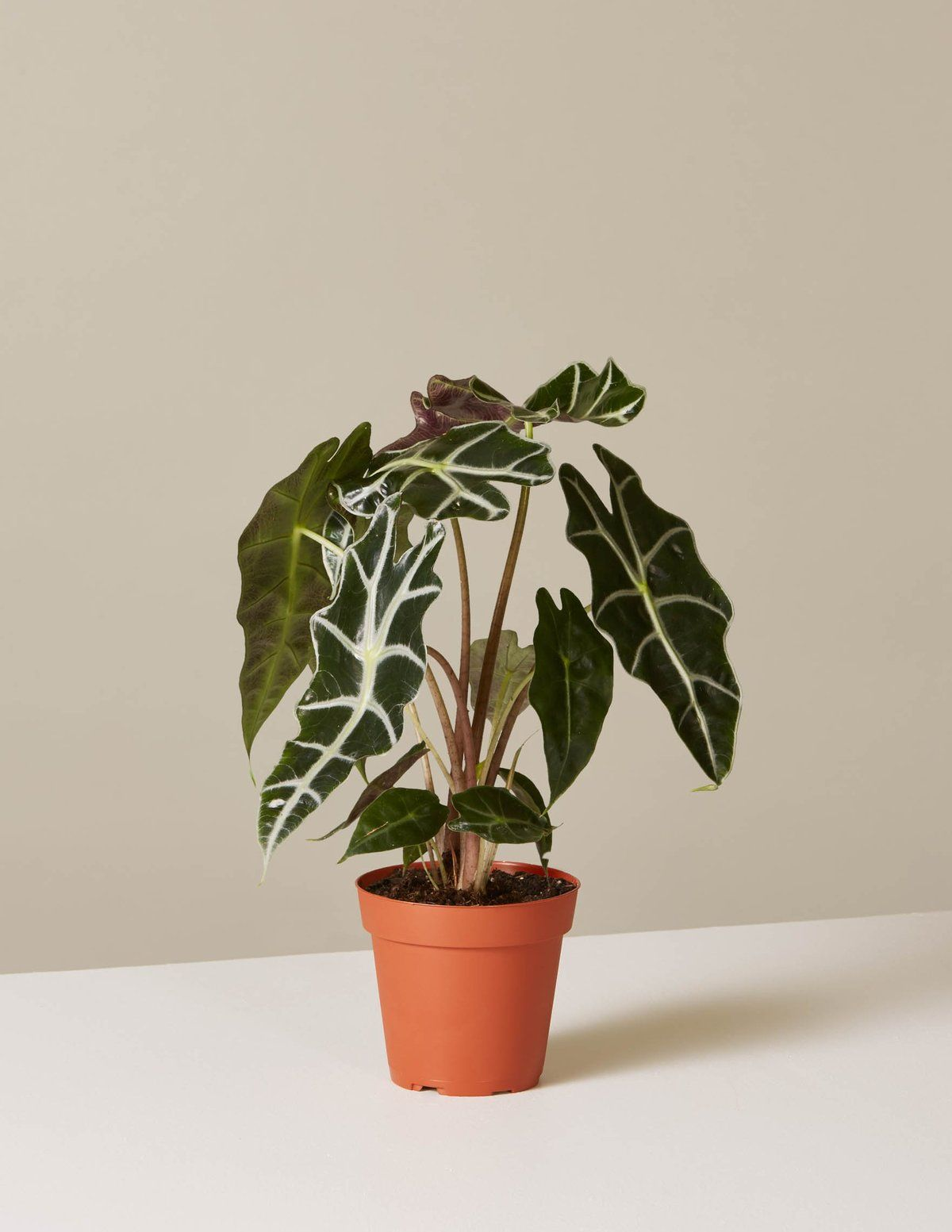 Alocasia Polly -   14 planting Indoor photography ideas