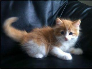 Ragdoll Cross Kittens For Sale Glasgow Picture 1 Cute Fluffy Kittens Fluffy Kittens Kitten For Sale