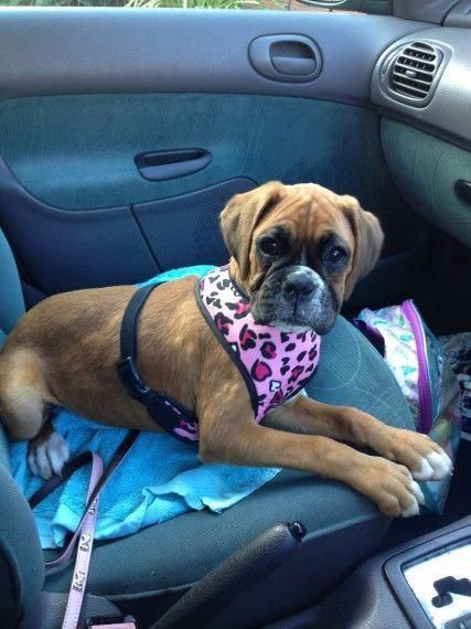Beautiful Boxer Puppy Rugby Warwickshire Pets4homes