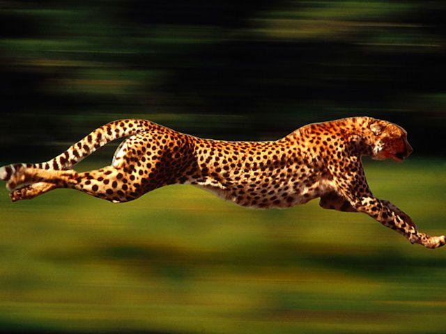 High Velocity, Cheetah