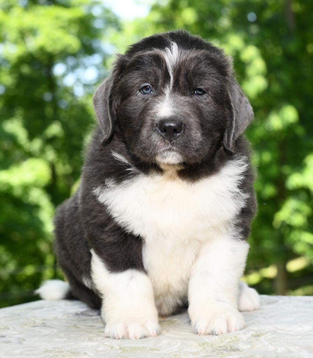 Intelligent newfoundland newfoundland puppies
