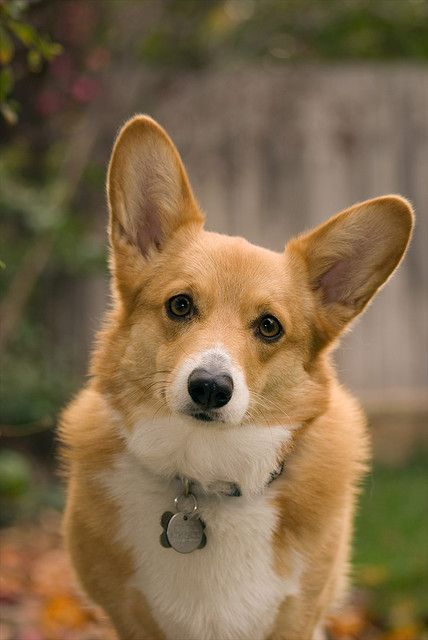 Looks Like Fall In San Diego Corgi Baby Dogs Corgi Dog