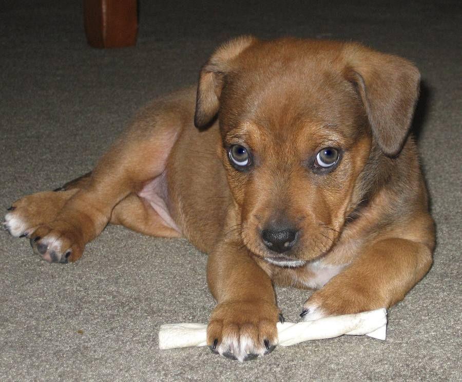 Brown German Shepherd Hybrid Puppies Images | Animals ...