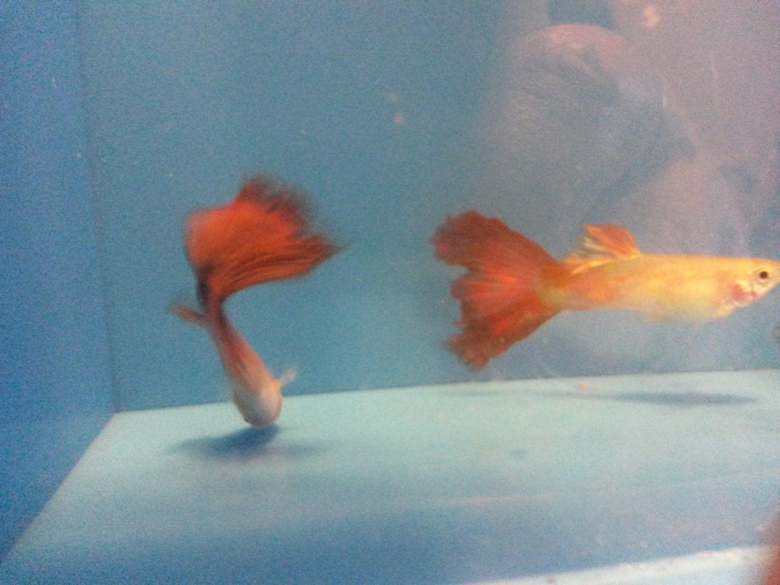 Aquarium Fish Pregnant Aquarium Pinterest