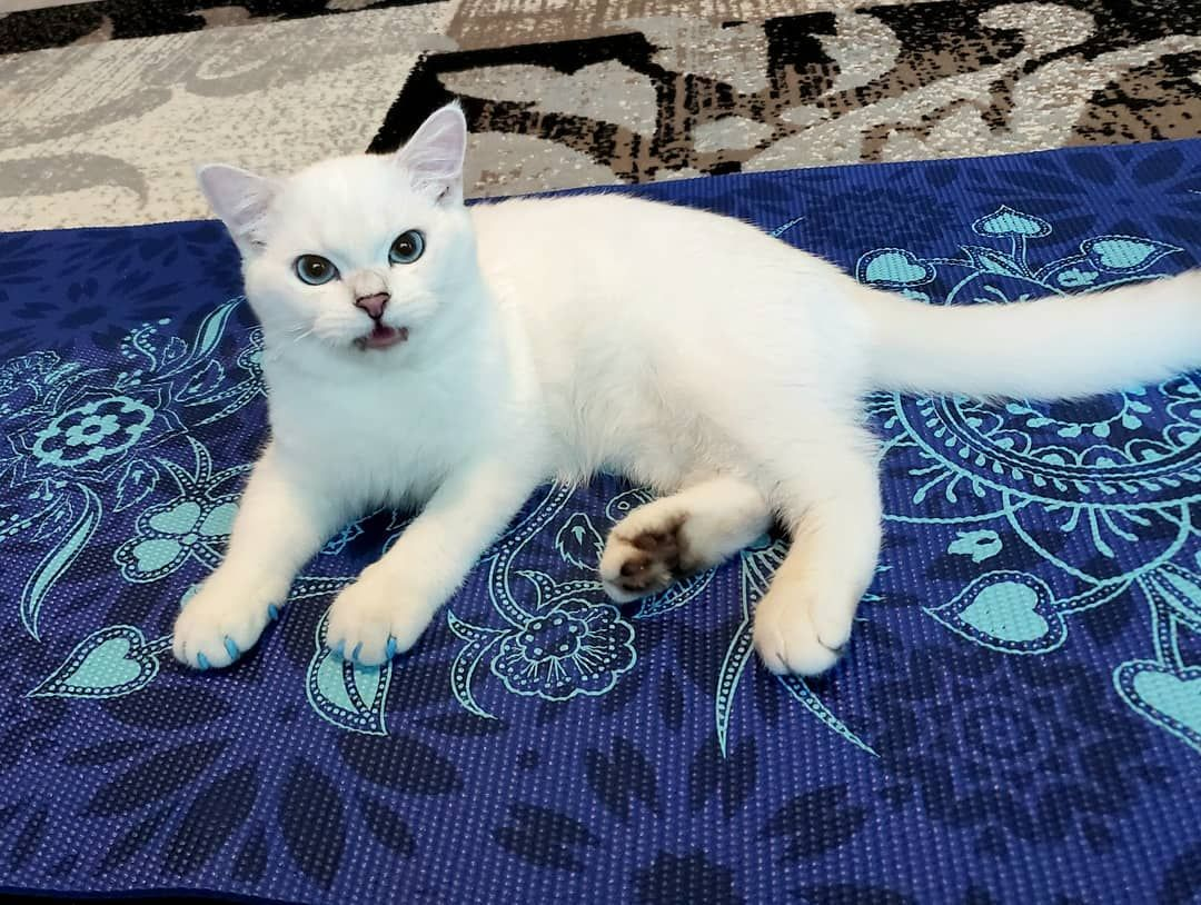 I love this yoga mat, it matches my eyes. May be I'll start doing yoga...Meow -      I love this yoga mat, it matches my eyes. May be I'll start doing yoga...Meow? #beautifulcat #britishshorthair #britishcat #britishwhitecat #catblueeyes #britishcatblueyes #whitecat #whitecatblueeyes  #blueeyescat #funnycats #catsoninstagram #catsofinstagram #cats #catstagram #cats_of_instagram #catloversclub #funnycat #cutecats #cutekitten #beatifulkitten     Best Picture For  Cat's drawing  For Your Taste