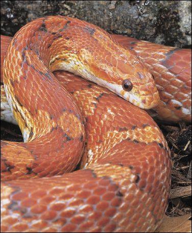 Corn Snakes, Ball Pythons, and Red Boas—Good Beginner