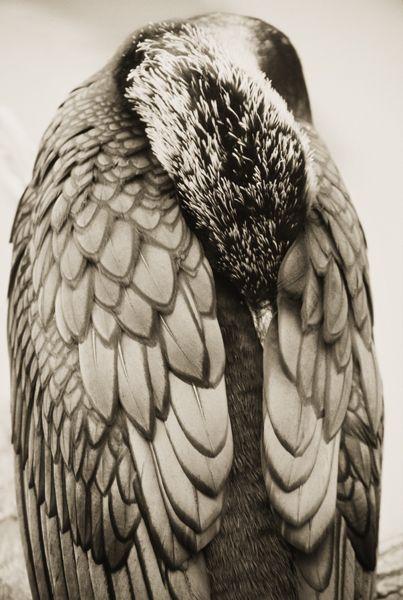 Great Cormorant By Henry Horenstein Photo Art Animal Wall Art