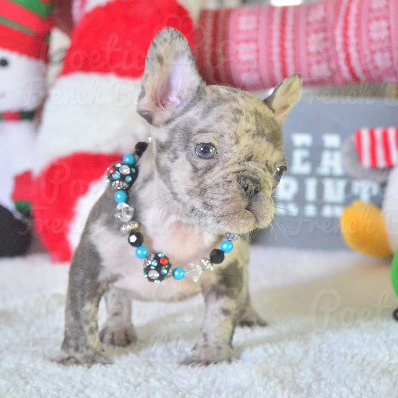 Teacup French Bulldog Puppies For Sale In Nc References