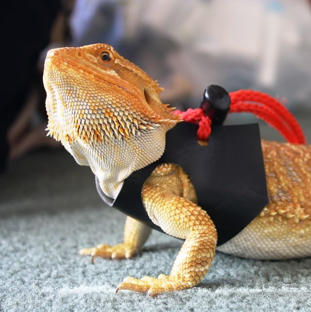 I Want A Harness To Walk My Beardie, But I Don't Think He