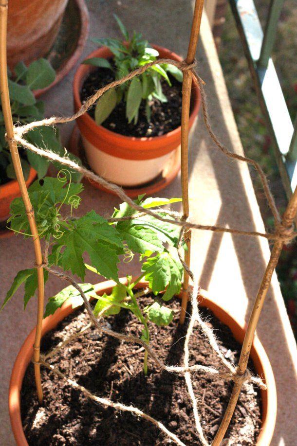 triangular trellis for tomato vine support fun idea for tomato