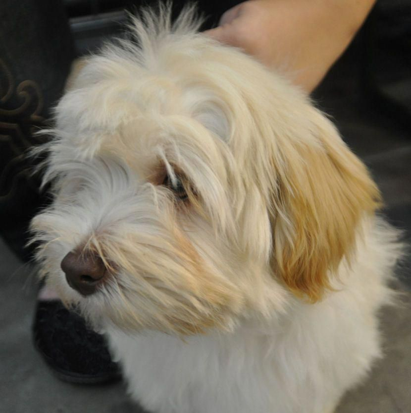 Havanese Intelligent and Funny (With images) Havanese