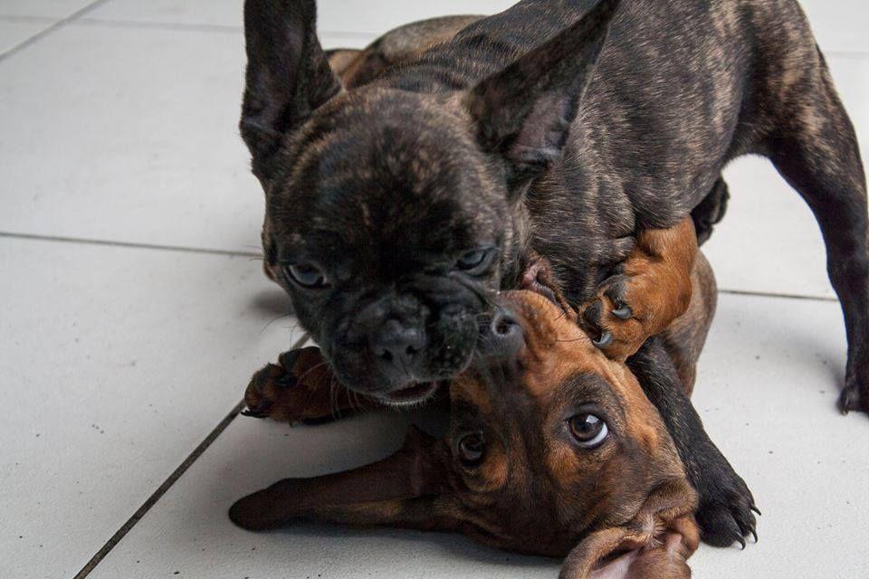 Bulldog frances y salchicha