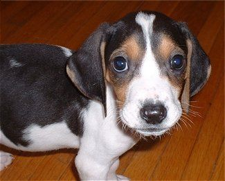 Tugger The Treeing Walker Coonhound As A Young Pup Treeing