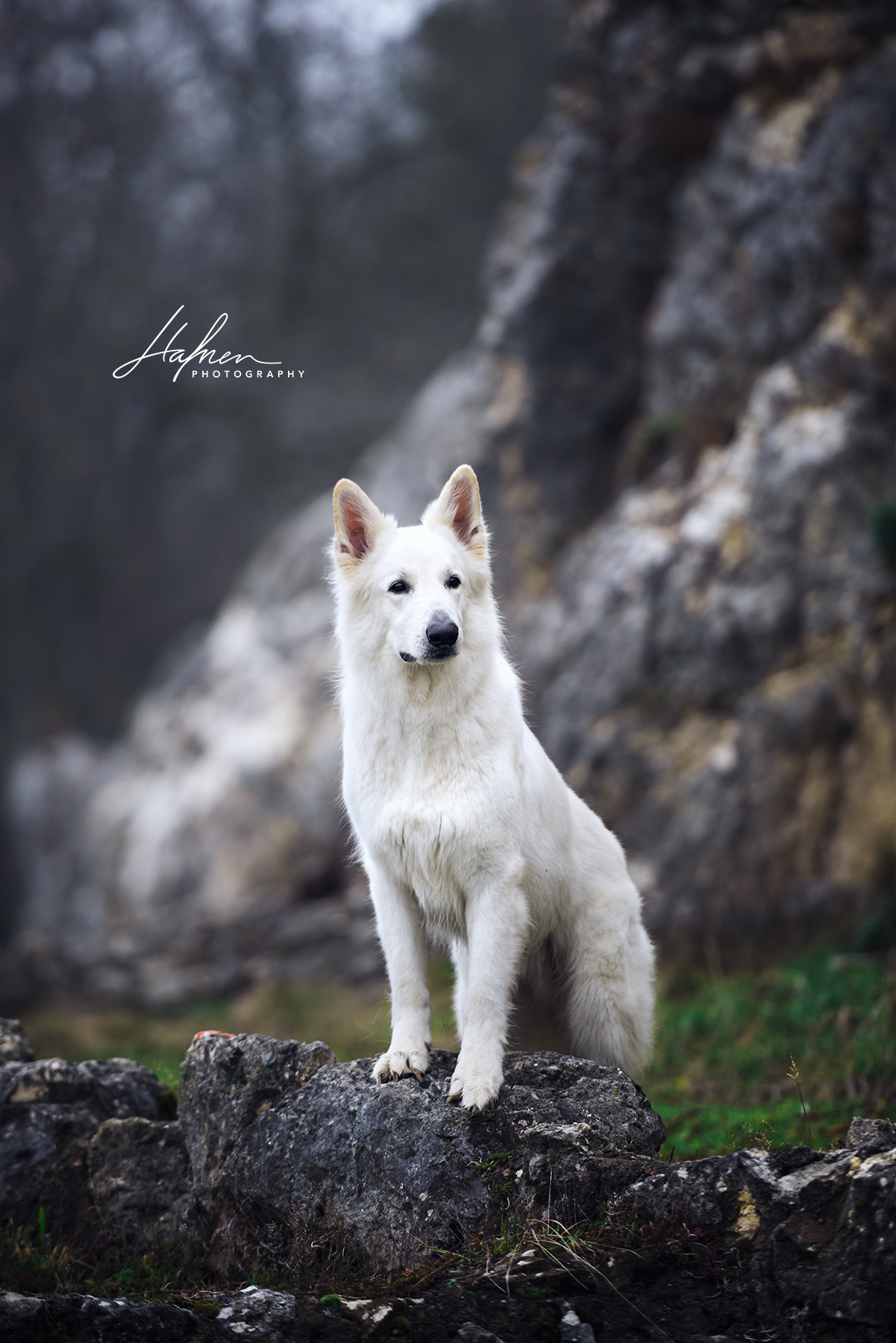 Schweizer weisser Schäferhund steht vor einer Steinwand