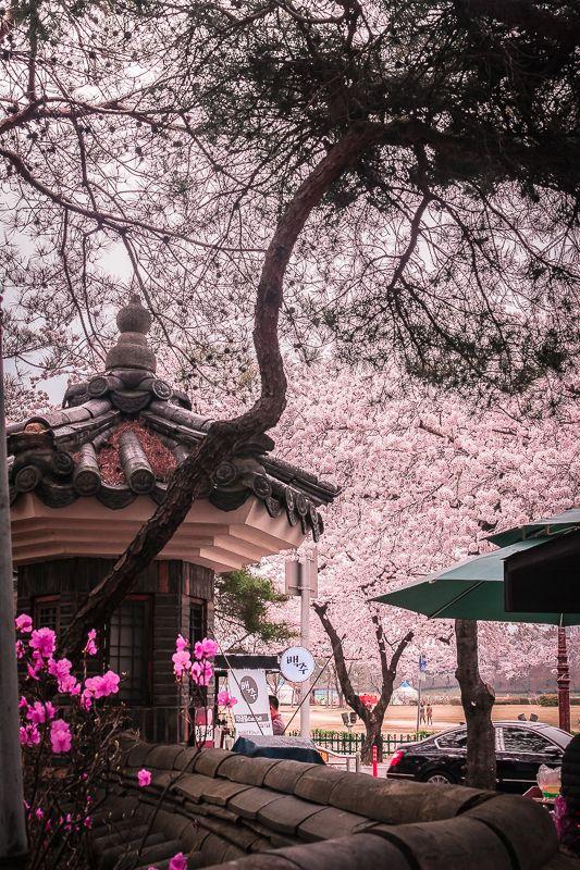 Gyeongju Cherry Blossom Festival South Korea Travel Korea Travel South Korea Seoul