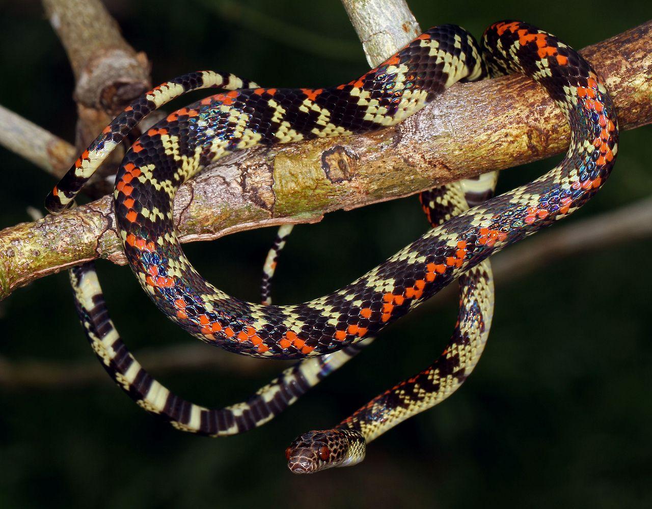 Liana Snake (Siphlophus cervinus) by cowyeow Snake