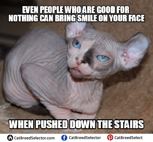 Images Of Hairless Cat Memes Funny Cute Angry Grumpy Cats Memes