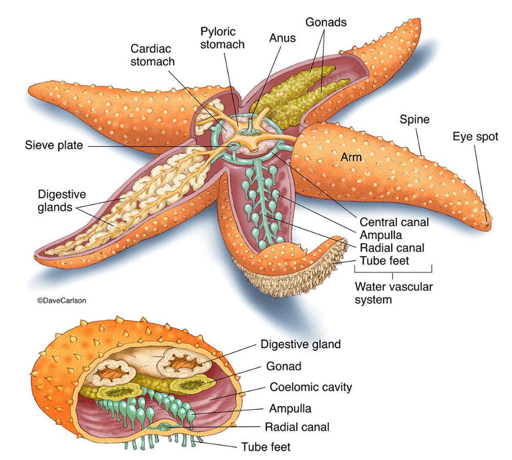 Starfish Sea Star Anatomy Photo Fish Anatomy Zoology Anatomy