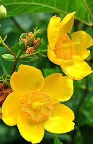 Hypericum - St Johns Wort Plants