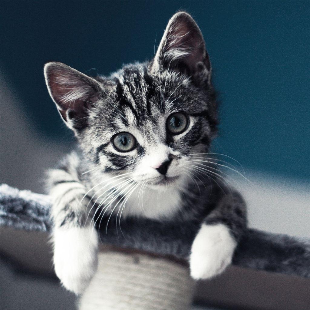 Cat look ipad air wallpaper download retina ipad - Kitten wallpaper for ipad ...