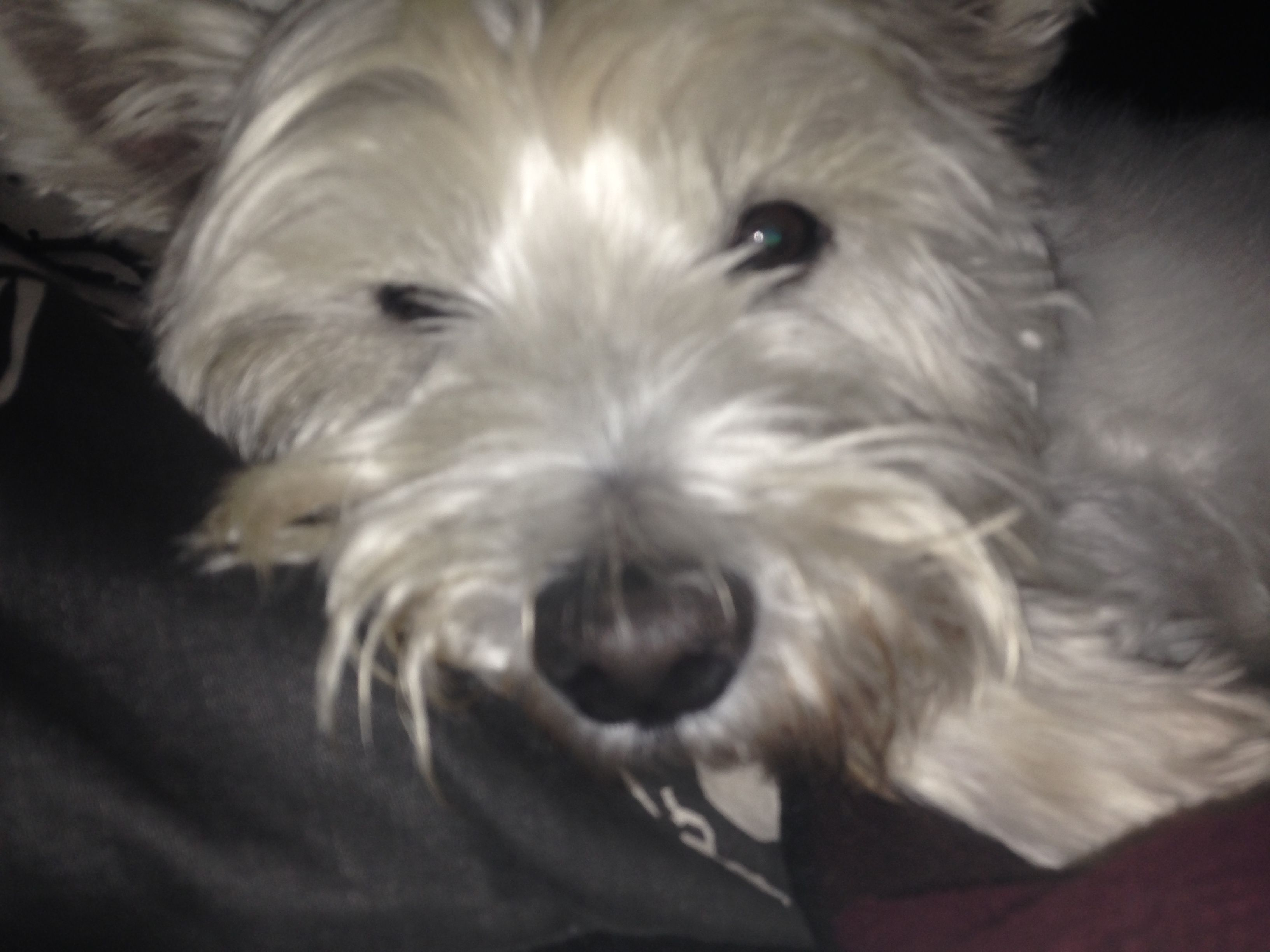 Pin by highland book cavern on westies pinterest westies