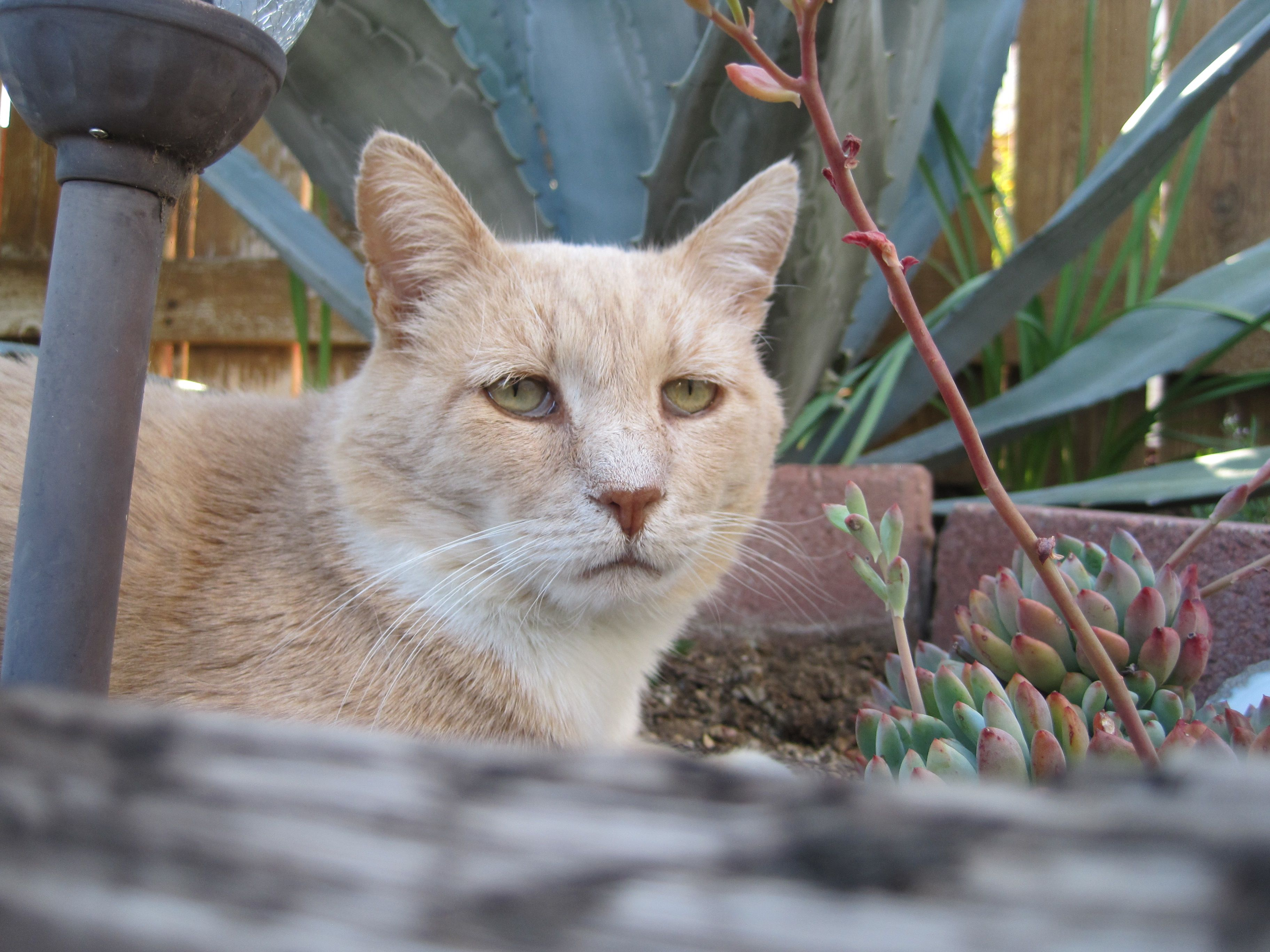 Freddie With Attitude Light Color Blonde Or Buff Tabby Cat His Fur Looks Frosted Orange Cats Cats And Kittens Tabby Cat