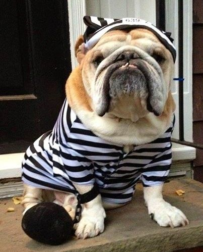 English Bulldog Bulldog Bulldog Costume Bulldog Funny