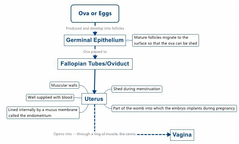 The passage of ova/eggs in the female reproductive tract.