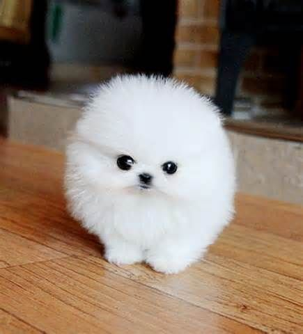 puff dog cute animals pinterest dog animal and baby animals