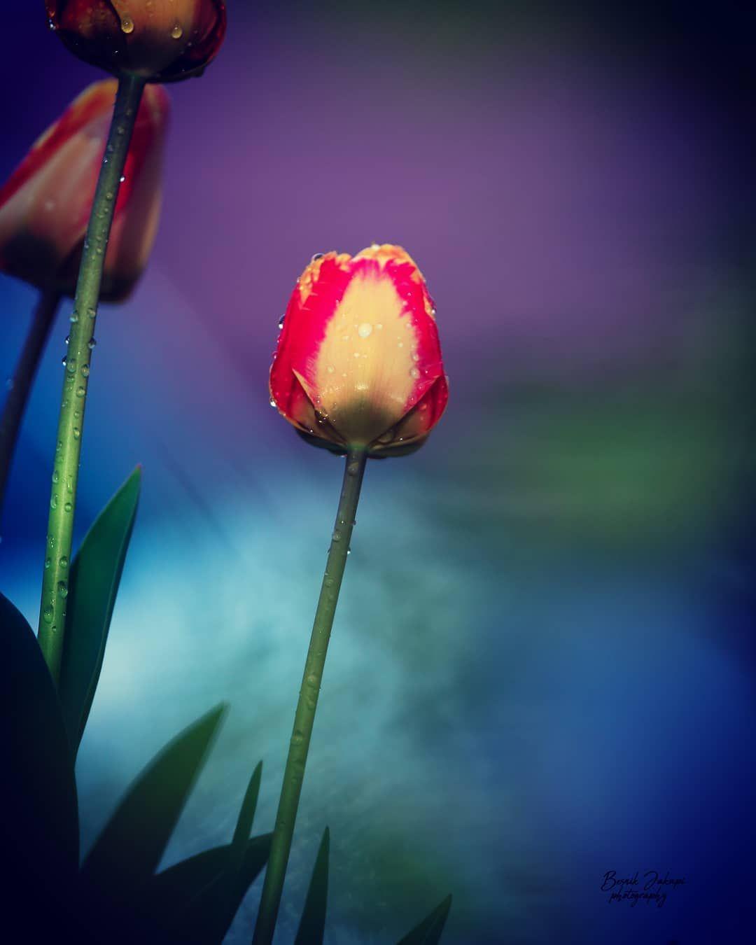 Tulip Flower Dreamy Mornin Flowers Nature Love Beautiful Photography Art Flower Tulip Flower Dreamy Mornin Flowers Nature Love Beautiful Photogra