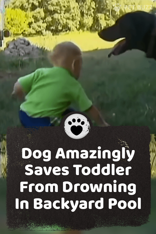 Mom all of a sudden realized her son, Stanley, wasn't next to her anymore. He had wandered off and somehow ended up in the pool. But Bear, the family Labrador, was to the rescue. #labradors #dogs #dogvideos #animals #animalvideos #animalrescue #pets