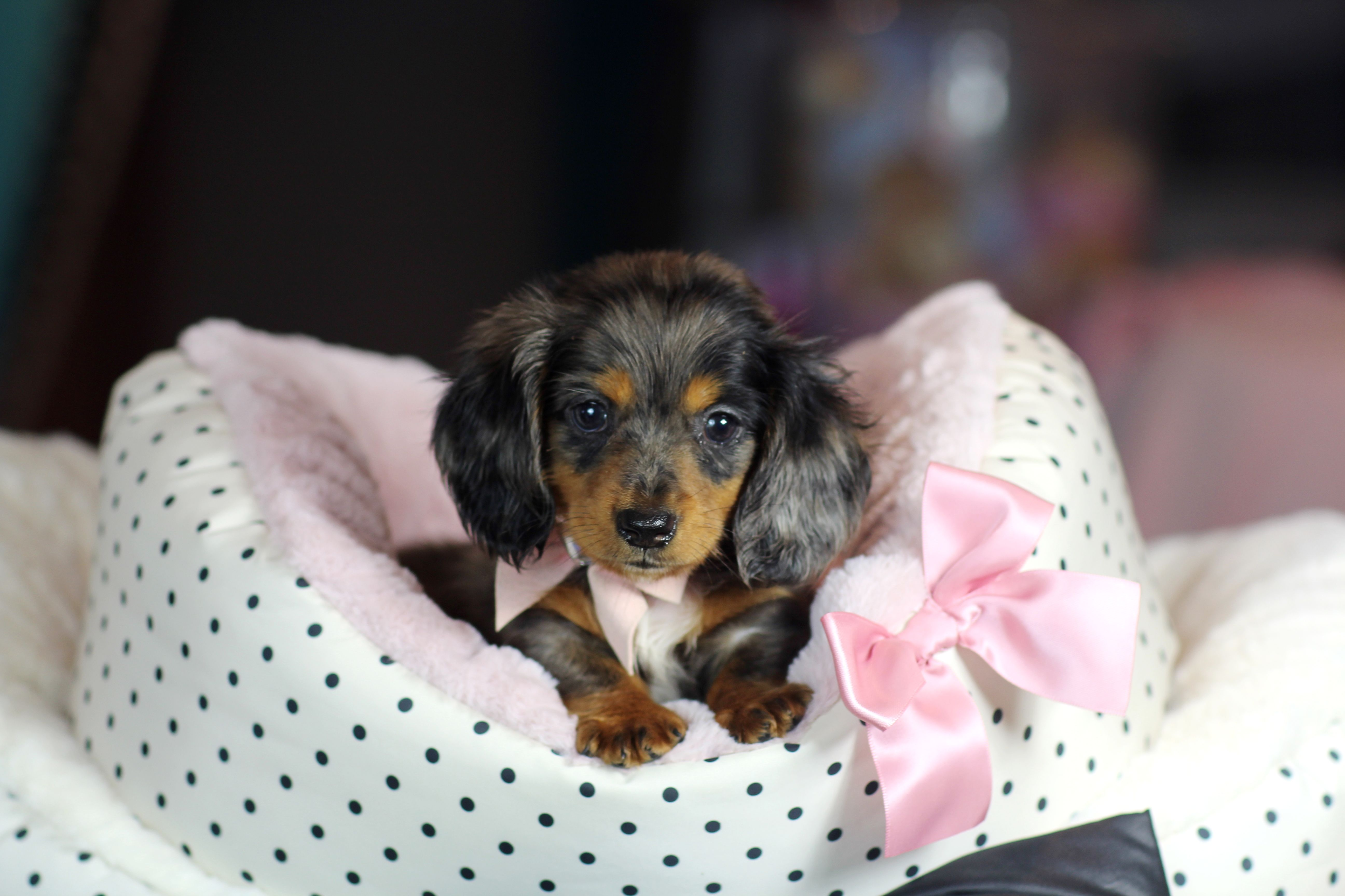 Mini Dachshund Bring This Perfect Baby Home Today