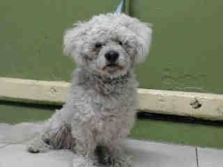 Safe A4809861 I M An Approximately 5 Year Old Male Poodle Stnd I Am Not Yet Neutered I Have Been At The Carson Animal Care Center Since March 20 2015 I