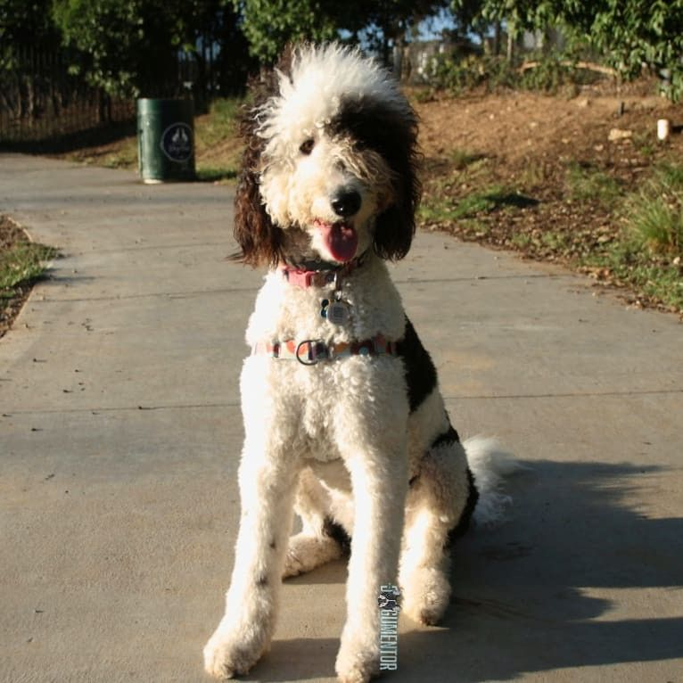 Frankie Sheepadoodle 1 5 Y O Little Italy Dog Park She