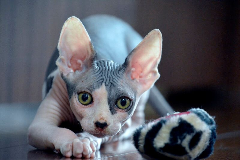 All About Sphynx Cats Cat Breeds Sphynx Cat Purebred Cats
