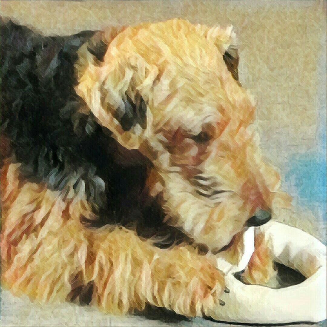 My Dear Welsh Girl On A Mission Airedale Dogs Welsh Terrier