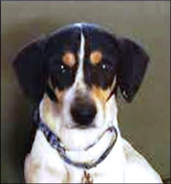 Adopt Spot On Beagle Rescue Beagle Mix Beagle Dog