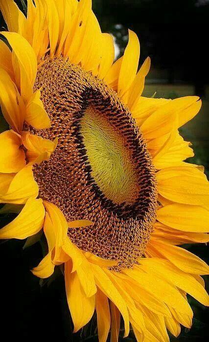 Sun Flower Beautiful Flowers Sunflowers And Daisies Amazing Flowers