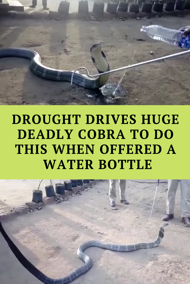 Drought Drives Huge Deadly Cobra To Do THIS When Offered a