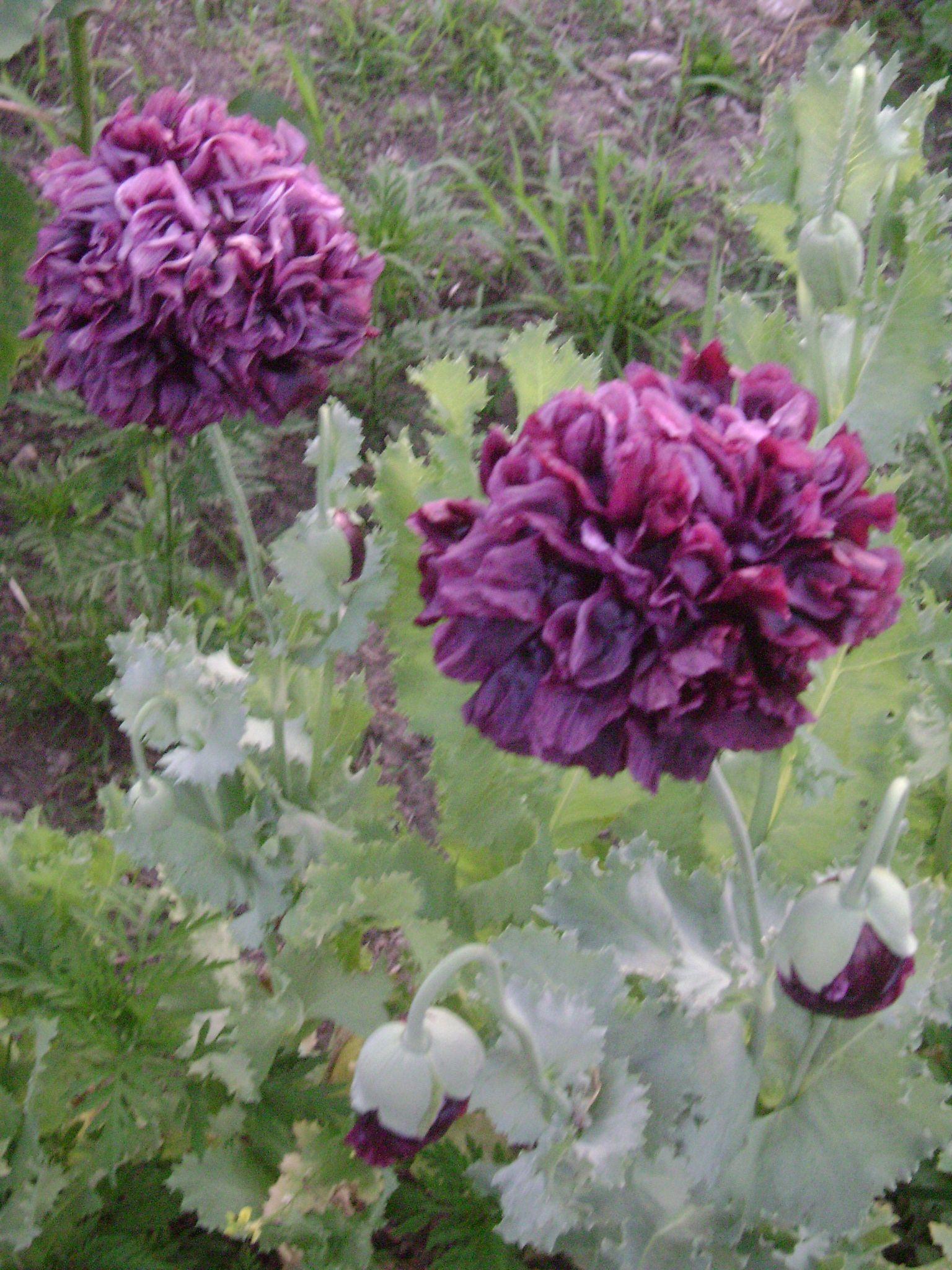 """Black Peony Poppy"" Heirloom tomato seeds, Organic"