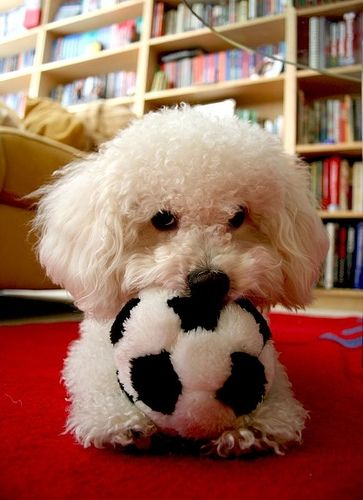 Is The Smell Of Dog Urine In A House Bad For You Bichon Dog