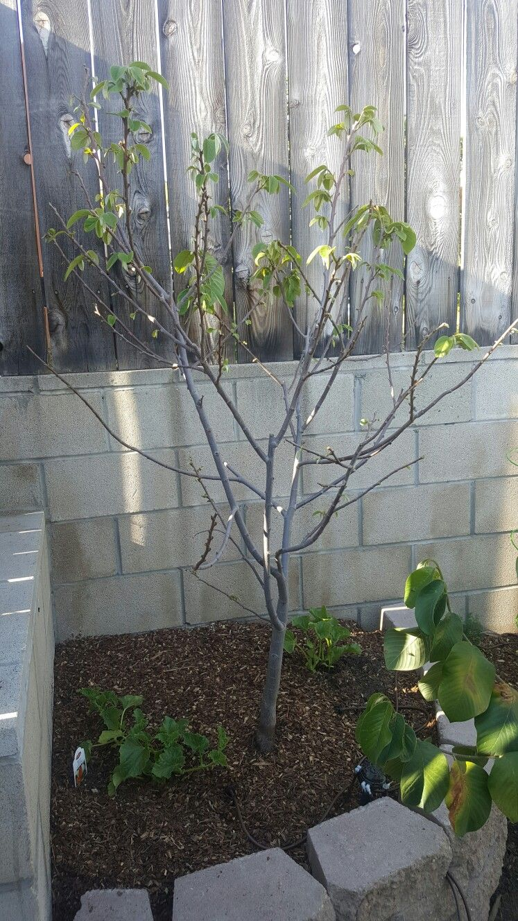 Cherimoya In Raised Bed Melons Planted In Tree Well Plants Fruit Trees Container Gardening