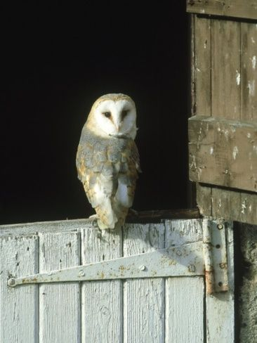1000+ images about My owl on Pinterest | Barn owls, Owl and White owls