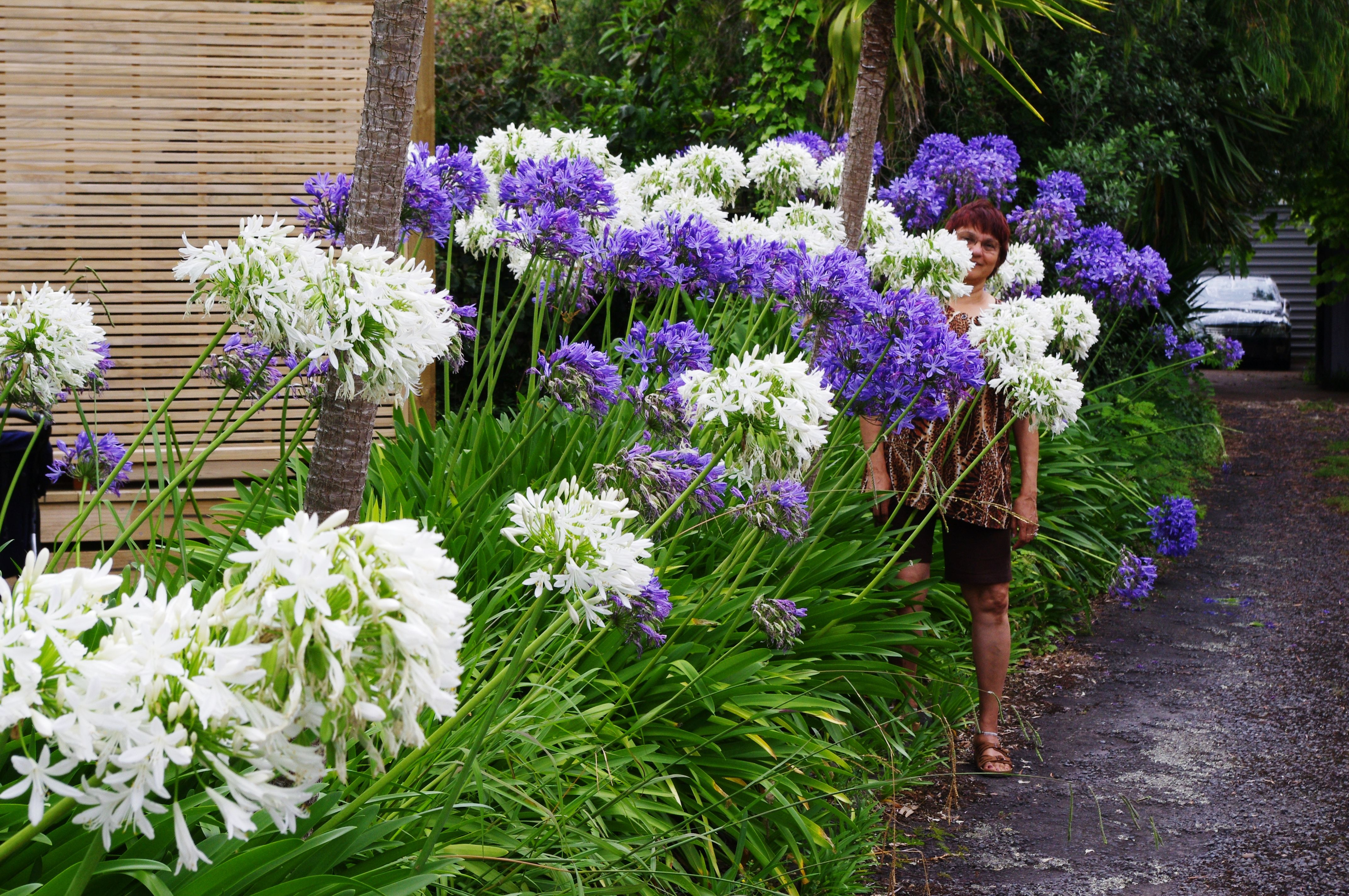 Whats in a name pinterest garden inspiration grasses and gardens like agapanthus in white and bluepurple izmirmasajfo