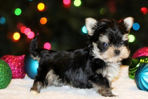 Puppies Christmas Puppy Morkie Pup Yorkie And Maltese Teacup Www Fureverfriendsga Com Puppies Christmas Puppy Yorkie