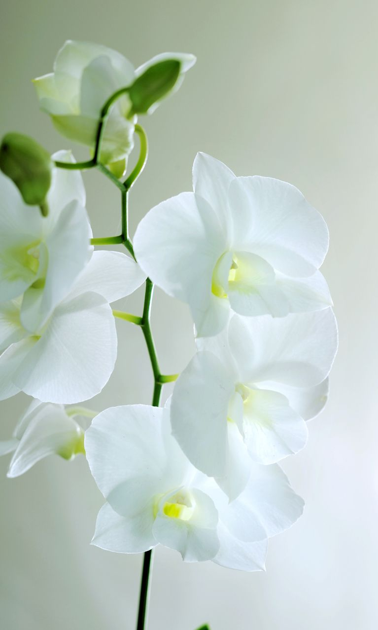 Are You Looking For An Orchid Buy One With Lots Of Open Flowers