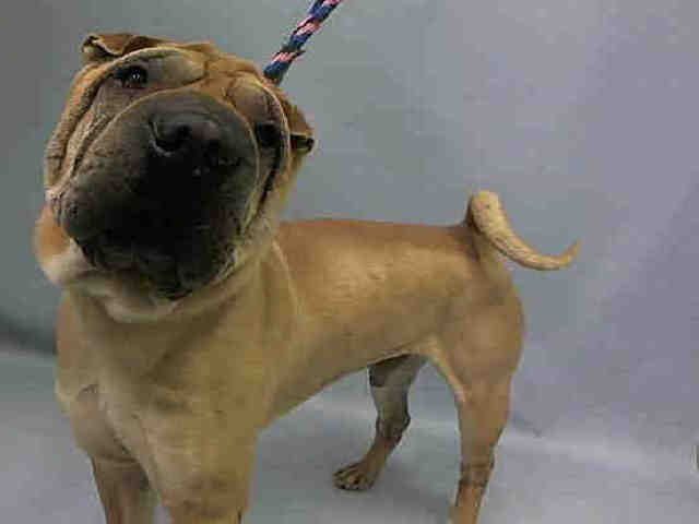BATMAN - A1054724 - - Manhattan  TO BE DESTROYED 10/19/15 **NEEDS A NEW HOPE RESCUE TO PULL**  Guess who needs a super hero tonight ? Batman in the Chinese Sharpei form. Batman is a ten year old senior dog that was surrendered as a stray. He is very upset and with good reason, a ten year old dog has too much wisdom and experience to be put in a chaotic shelter. Batman is a sensitive Sharpei, he tends to be a more reactive type, and does not have the socialization that shelt