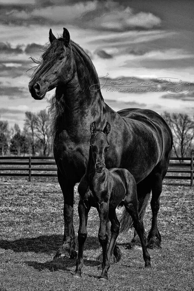 Beautiful black horses with dark shiny coats. Mare and ...